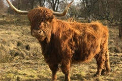 Drovers Day Trip - Highland Coo